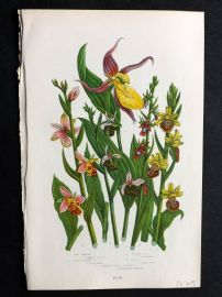 Anne Pratt 1899 Bee & Spider Orchis, Lady's Slipper Orchis, Fly Orchis. Orchids.
